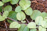 Enlarged Image of 'Pilea nummulariifolia'