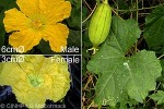 Enlarged Image of 'Luffa cylindrica var. insularum'