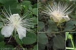 Enlarged Image of 'Capparis cordifolia'