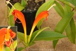 Enlarged Image of 'Aeschynanthus speciosus 'Rigel''