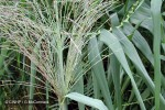 Enlarged Image of 'Arundo donax'