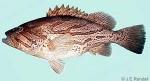 Enlarged Image of 'Epinephelus morrhua'