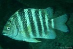 Enlarged Image of 'Abudefduf septemfasciatus'