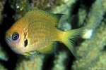 Enlarged Image of 'Chromis agilis'