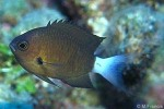 Enlarged Image of 'Chromis bami'