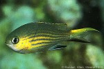 Enlarged Image of 'Chromis vanderbilti'