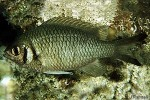 Enlarged Image of 'Chromis weberi'