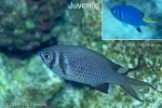 Enlarged Image of 'Chromis xanthura'